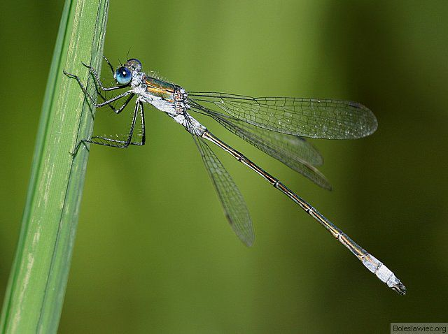 Niebieskooka