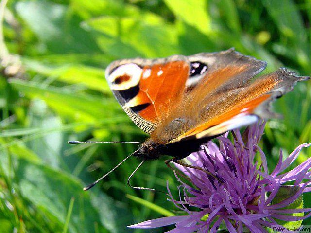 Motylek 2