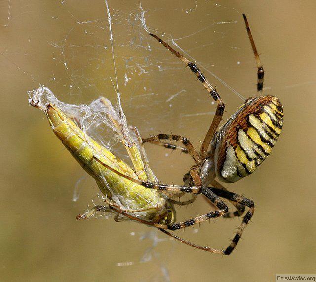 W sidłach pająka