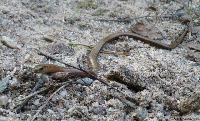 Dziki wąż - padalec :D