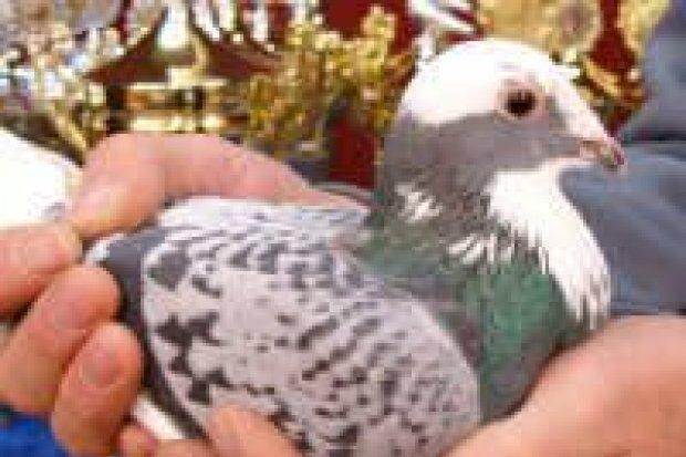 Zorganizowano wystawę gołębi pocztowych