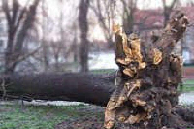 Wichura powaliła pierwsze drzewa na drogach
