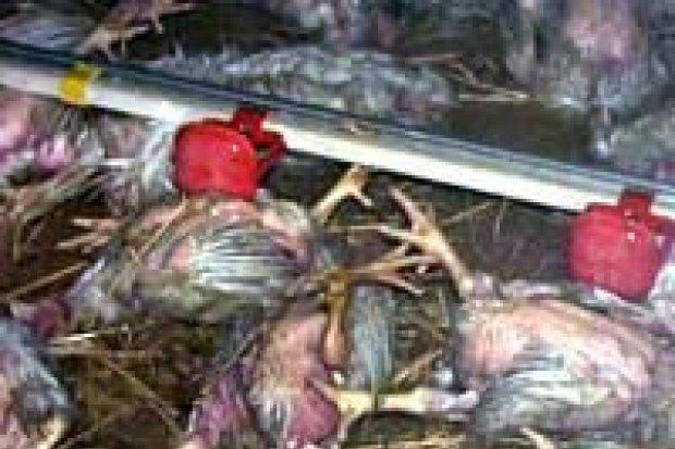 15 tys. kurcząt zginęło w pożarze