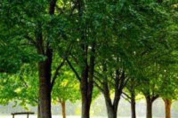 Drzewka tlenowe w Bolesławcu? Jest propozycja kobiet ze Stowarzyszenia In Gremio