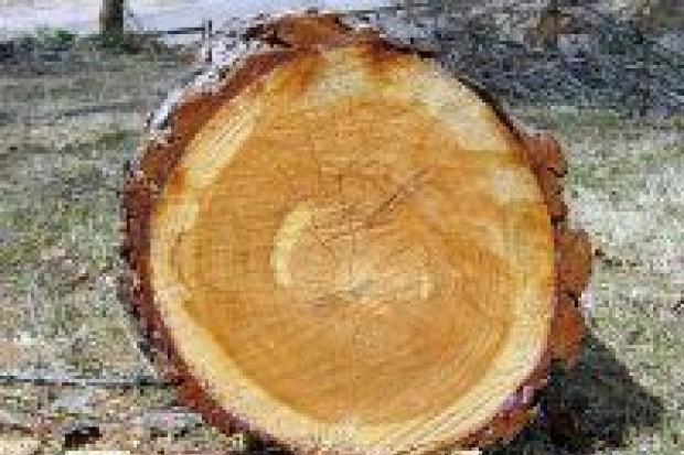 Wycinka drzew pod Wartą