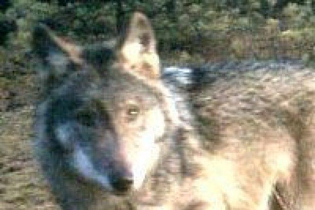 Wilki w okolicy Bolesławca