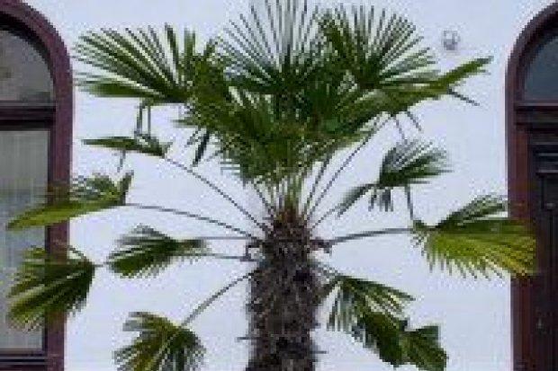 Palma rośnie na Kaszubskiej