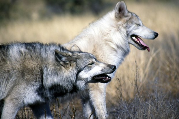Dlaczego wilki atakują psy? Są zagrożeniem dla ludzi?