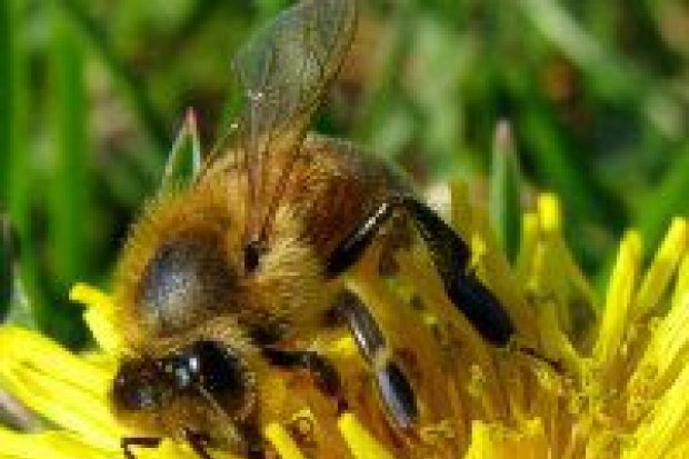 Ratujmy ginące pszczoły