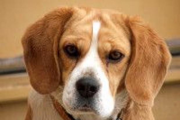 Ukradł... beagle'a, grozi mu do 5 lat więzienia