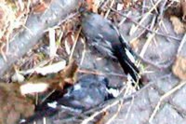 Martwe ptaki w mieście