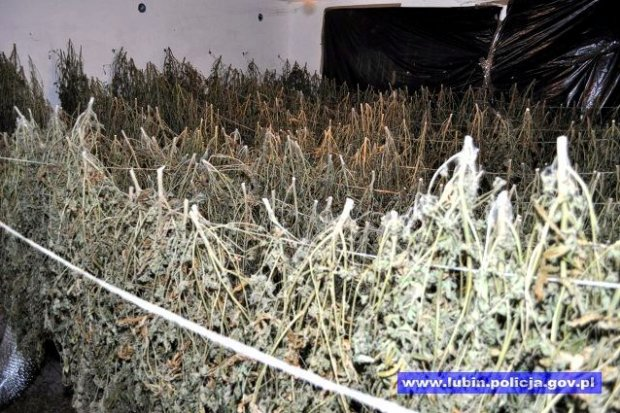 Plantacja marihuany zlikwidowana, 6 osób w rękach policji