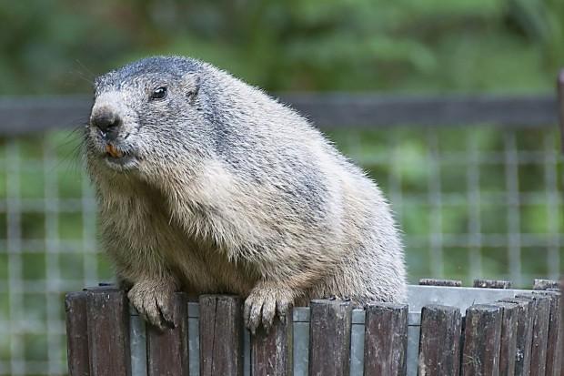 Wombat buszuje w koszach na śmieci