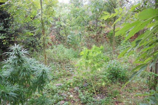 Linia produkcyjna tytoniu i plantacja marihuany zlikwidowane