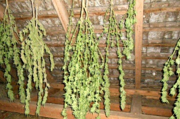 Konopie na poddaszu. Zabezpieczono ponad 0,5 kg marihuany o wartości 30 tys. zł