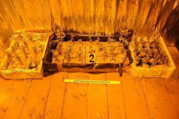 Zawidowscy policjanci zlikwidowali plantację marihuany, zabezpieczono niemal 80 roślin