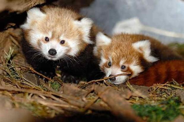 """""""Kryzys małżeński"""" w rodzinie pand czerwonych w Naszym Zoo"""