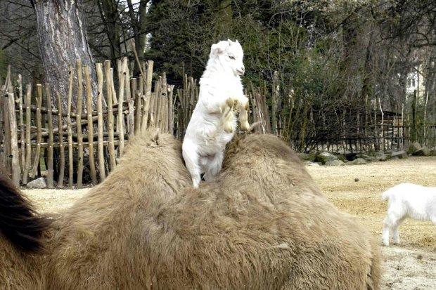 Wspinaczka na Mount... Wielbłąd