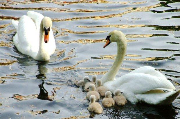 Łabędzia rodzina kolejny raz się powiększyła