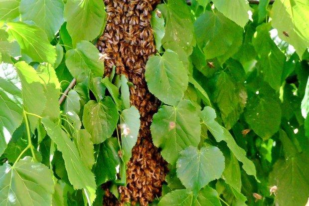 Uważajcie na rój pszczół w bolesławieckim rynku