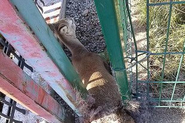 Sarna zaklinowała się w ogrodzeniu jednej ze szkół