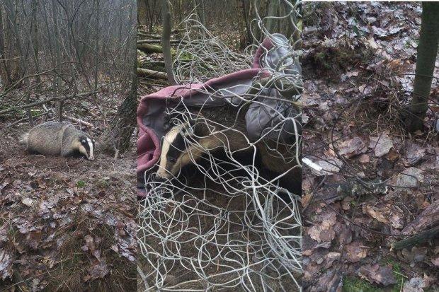 Kłusownicy grasują w lasach, ich ostatnią ofiarą padł borsuk