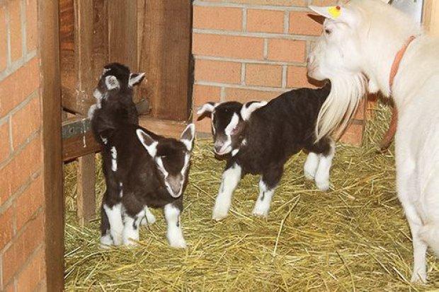 Baby boom w łużyckiej zagrodzie wiejskiej