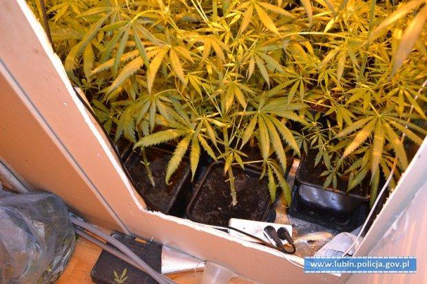 Nie miał pieniędzy na narkotyki, więc zaczął uprawiać marihuanę w domu