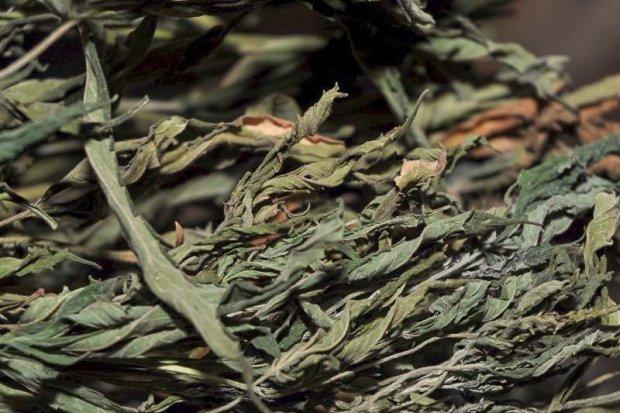 Zlikwidowali uprawę konopi, kilka tys. porcji narkotyku nie trafi na rynek