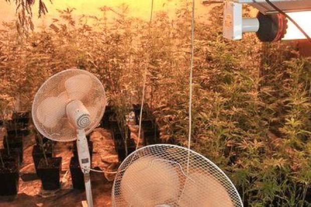 Policjanci zlikwidowali uprawę konopi indyjskich, zabezpieczyli blisko 1000 porcji narkotyku