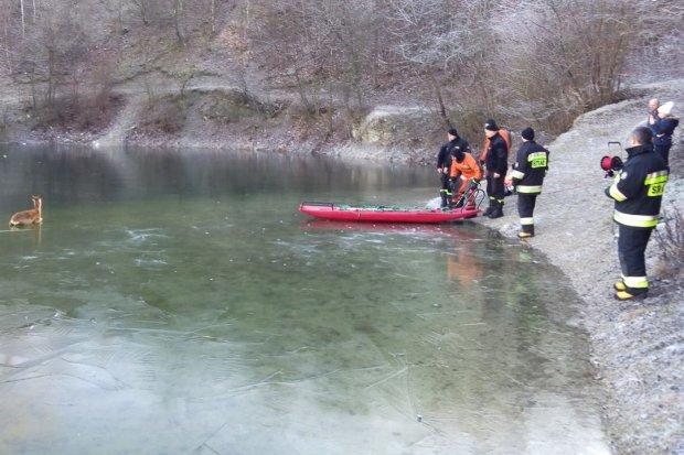 Strażacy uratowali koziołka, który wszedł na cienki lód