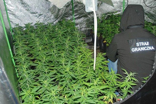 Plantacja marihuany zlikwidowana. Zabezpieczono narkotyki warte ponad pół mln zł!