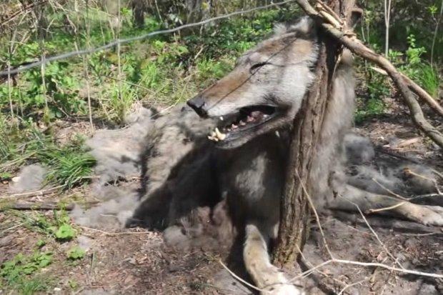 Wilki umierają w męczarniach. Problem z kłusownictwem coraz większy
