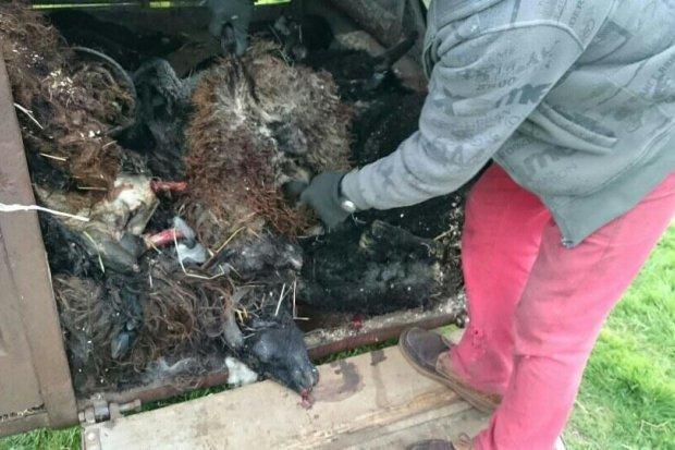 Wilki zaatakowały w Gromadce i zagryzły 20 owiec