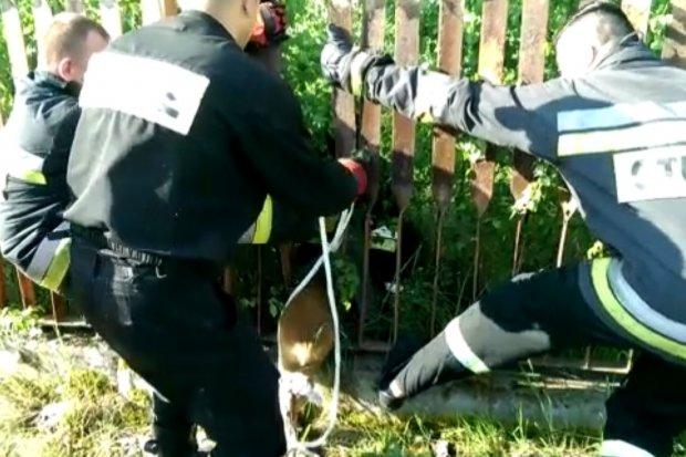 Uratowali sarnę, która utknęła w ogrodzeniu