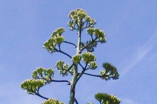37-letnia agawa wkrótce zakwitnie w Nowogrodźcu