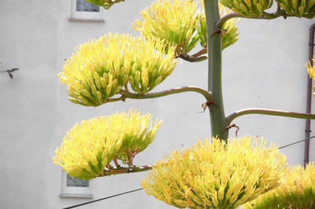 37-letnia agawa pięknie zakwitła w Nowogrodźcu