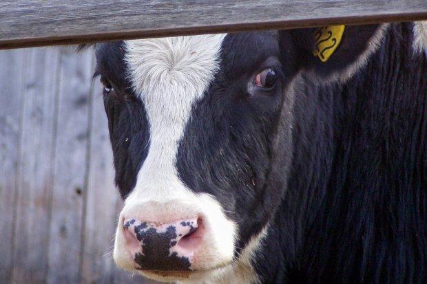 Ukradł i okrutnie zabił krowę. Dwie inne okaleczył