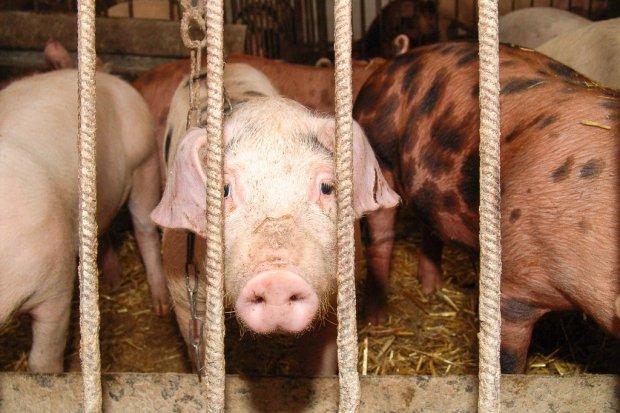 Kilka tys. świń trzymanych w koszmarnych warunkach. Jest akt oskarżenia