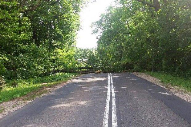 Powalone drzewo na drodze w Dąbrowie Bolesławieckiej