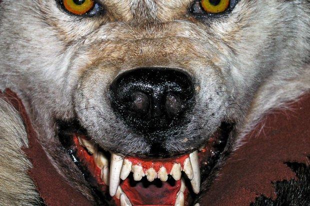 Ataki wilków na psy. PLW do właścicieli pupili: trzymajcie je w zamknięciu!