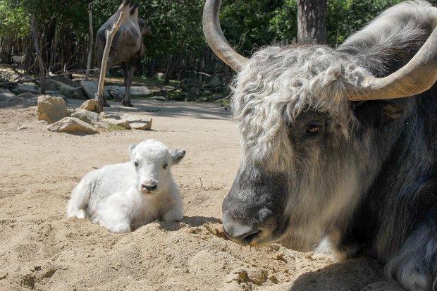 Śnieżnobiała jałówka narodziła się w Naszym Zoo