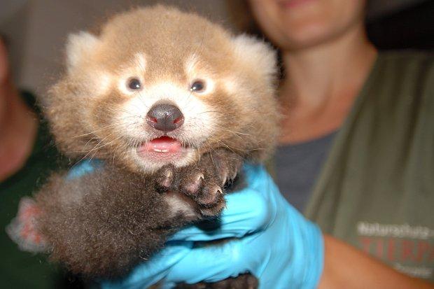 Panda z Naszego Zoo została i mamą, i babcią