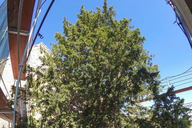 Jak znosi upały najstarsze drzewo w Polsce?