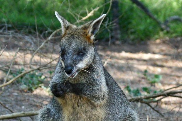 Kangur w... Borach Dolnośląskich