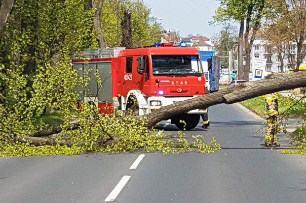 Powalone drzewo na Jeleniogórskiej