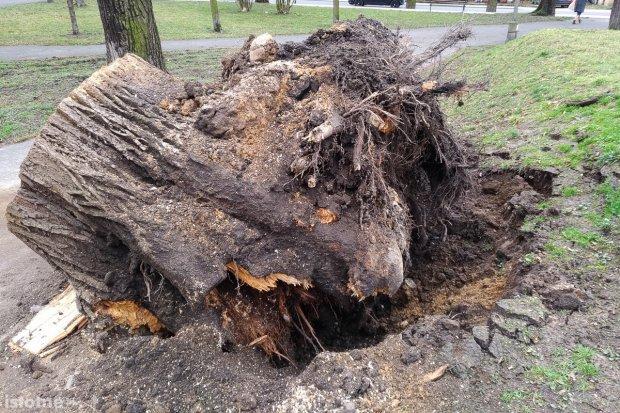 Huragan wyrwał drzewo z korzeniami przy pl. Wolności