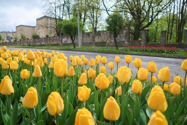 Piękne żółte i czerwone tulipany na alei Tysiąclecia