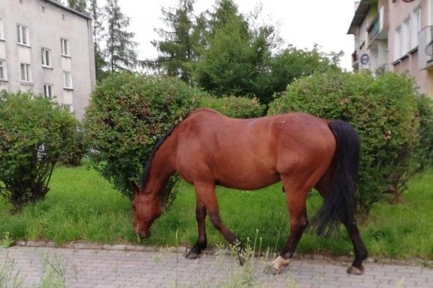 Koń spacerował po mieście. Interweniowała policja