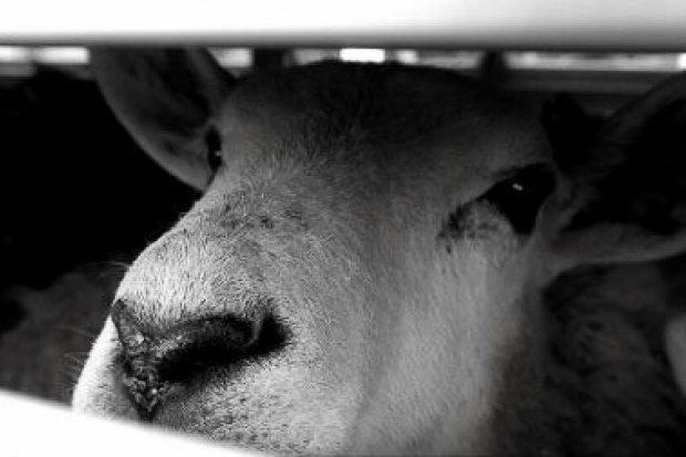 Compassion Polska: STOP transportowi żywych zwierząt!